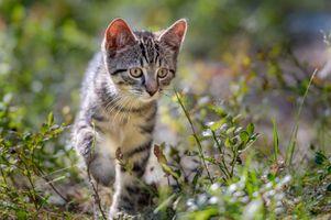 Бесплатные фото котёнок,кот,кошка,играет,охотится,взгляд,домашнее животное
