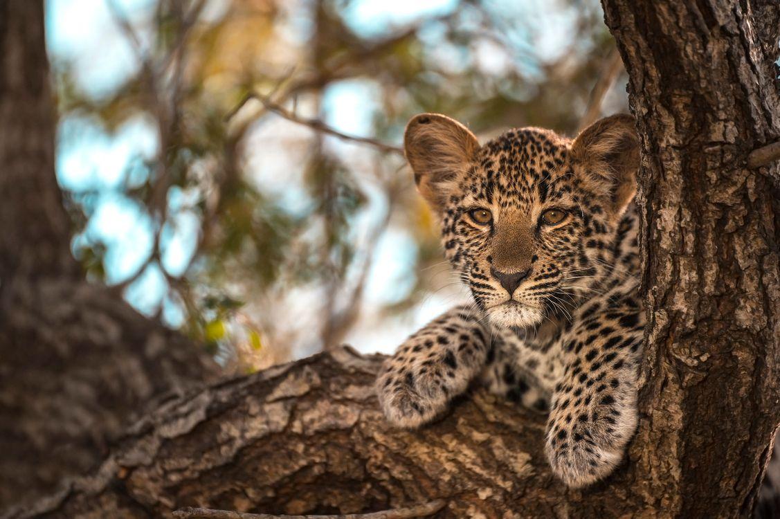 Фото бесплатно Leopard in tree котенок смотрит в даль - на рабочий стол