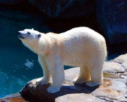 Photo free bear, polar, polar bear