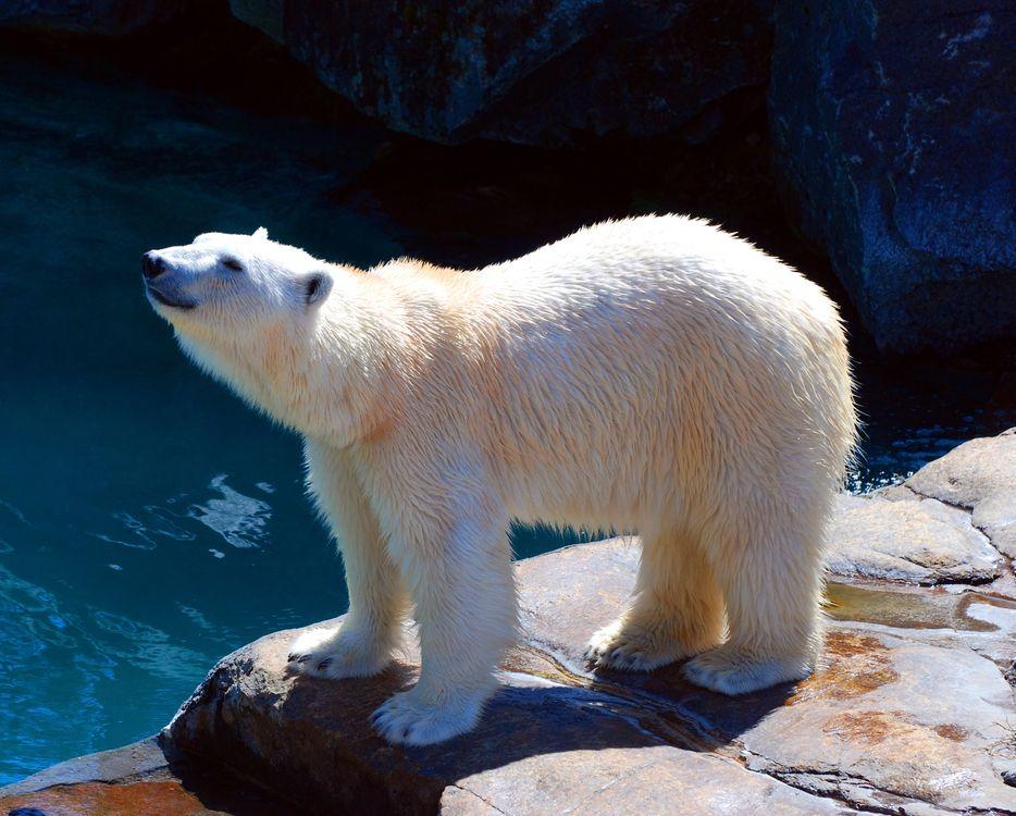 Фото бесплатно медведь, полярных, полярный медведь - на рабочий стол