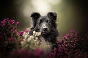 Собака в зарослях вереска · бесплатное фото