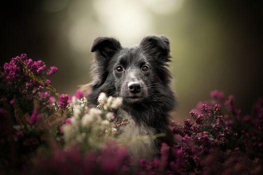 Собака в зарослях вереска