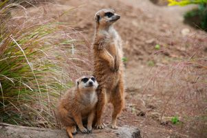 Бесплатные фото Meerkat,Edinburgh Zoo,Corstorphine,Edinburgh,Scotland