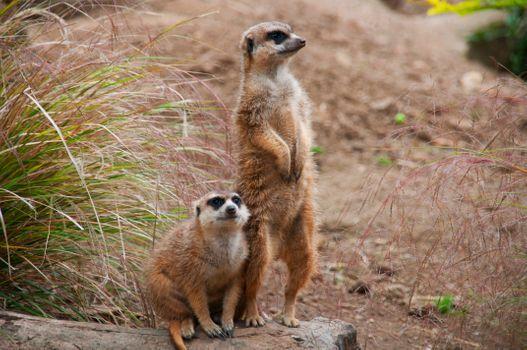 Бесплатные фото Meerkat,Edinburgh Zoo,Corstorphine,Edinburgh,Scotland