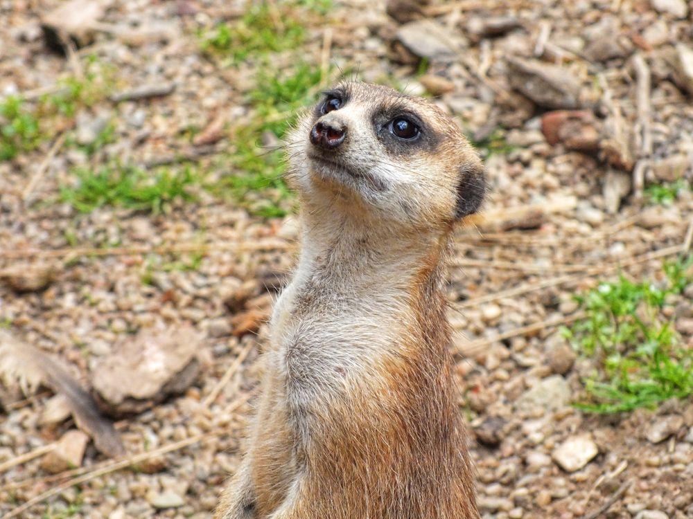 Фото бесплатно Meerkat, сурикат, портрет, животные