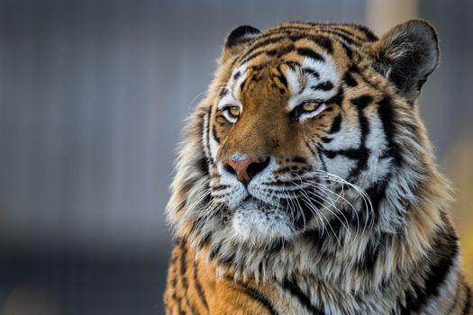 Photo free tiger, animal, closeup