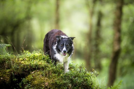 Photo free photograph, pet, border collie