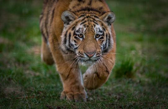 Photo watch Amur tiger, a big cat for free