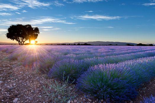 Фото бесплатно лавандовое поле, цветы, дерево