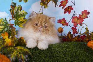 Заставки котенок, экзот, портрет