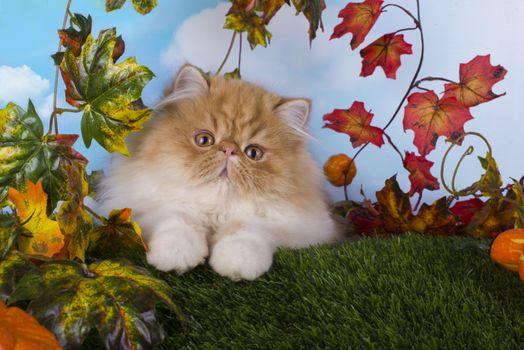Бесплатные фото котенок,экзот,портрет,листья