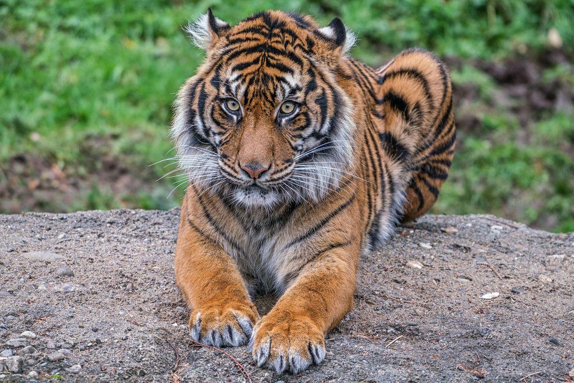 Фото бесплатно тигр, тигрёнок, хищник, животное, взгляд, животные