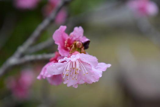 Заставки вишня,цвести,окинава,япония,никон,зима,цветок,цветущее растение,растение,лепесток,розовый,весна
