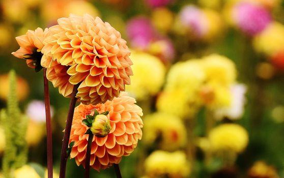 Бесплатные фото цветок,лепесток,цветение,осень,ботаника,рыжих,сад,флора,дикий цветок,георгин,сложноцветных,георгины