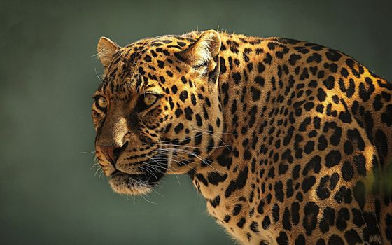 Photo free eyes, face, leopard