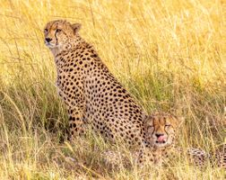 Бесплатные фото гепарды,cheetah,brothers,Maasai Mara,Kenya