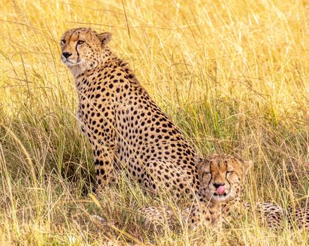 Photo free cheetahs, cheetah brothers, Maasai Mara