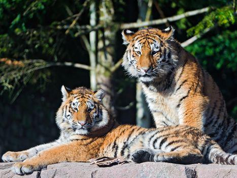 Заставки тигр тигры, взгляд, фон