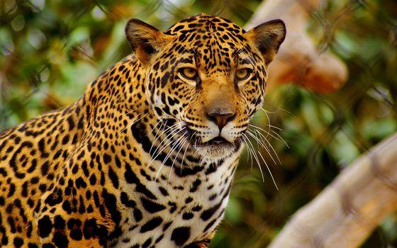 Как выглядит ягуар