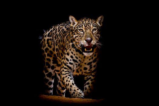Смотрите картинки на тему леопард, леопард портрет
