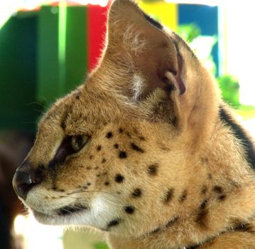 Face Serval · free photo