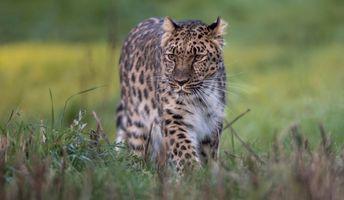 Photo free predator, animal, Amur leopard