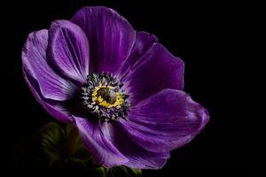 Фото бесплатно Anemone, цветок, цветы