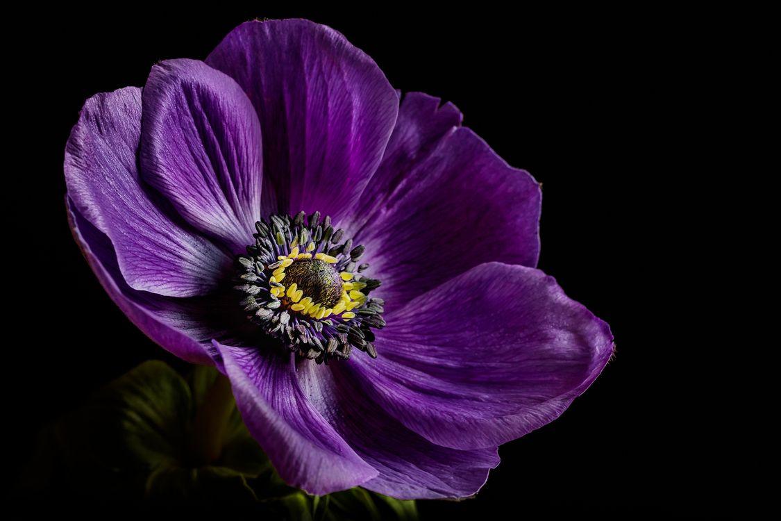 Фото бесплатно Anemone, цветок, цветы, чёрный фон, флора, цветы