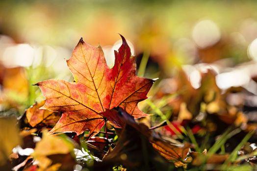 Фото бесплатно кленовый лист, осень, пейзаж