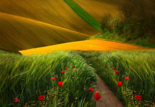 Фото бесплатно поле, трава, пейзаж, природа, тропинка, маки, пейзажи, деревья, вид