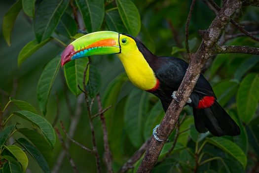 Photo free bird on branch, Keel-billed Toucan, Ramphastos sulfuratus