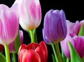 Макро съемка тюльпанов