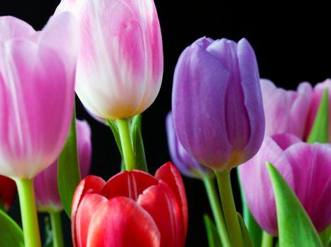 Close-up shot of tulips