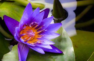 Фото бесплатно пруд, флора, макро