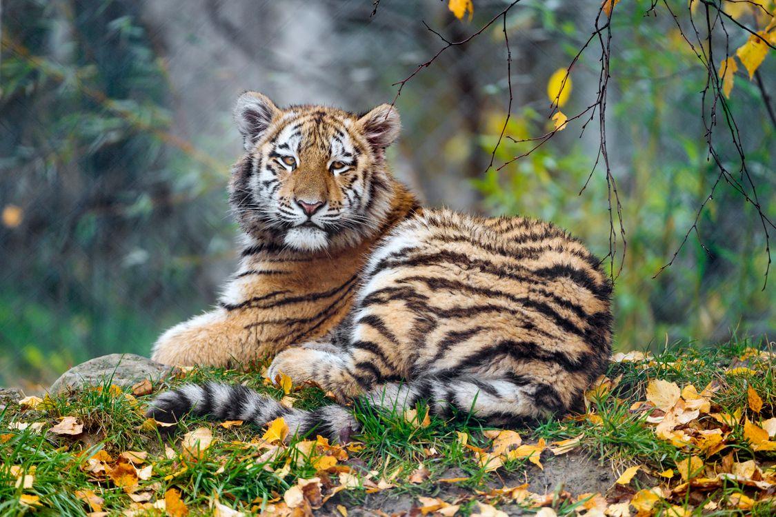 Фото бесплатно дикая кошка, трава, тигренок - на рабочий стол