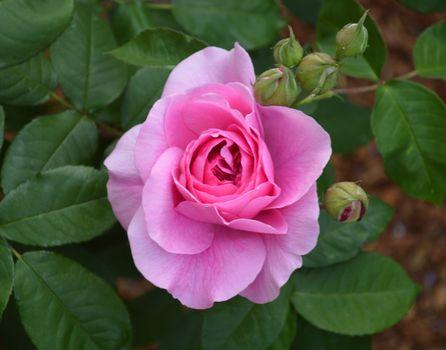 Фото бесплатно цветы, розовый бутон, розы