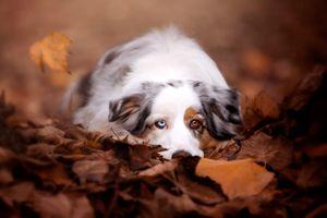 Аусси в осенней листве · бесплатное фото