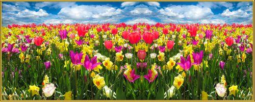 Фото бесплатно тюльпаны, нарциссы, поле, цветы, флора, панорама, небо, облака