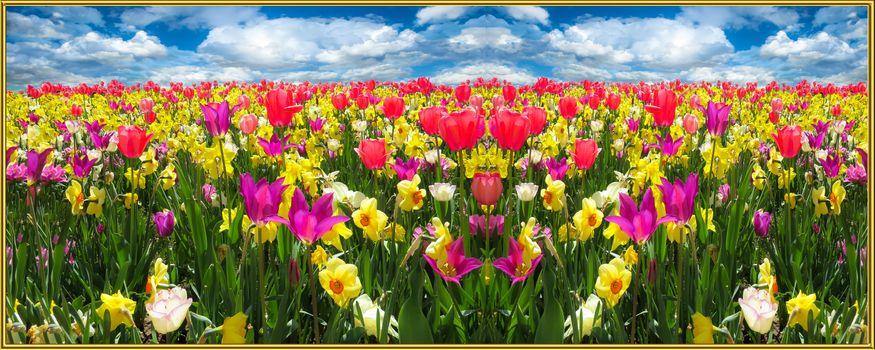 Фото бесплатно панорама, нарциссы, цветы