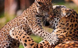 Бесплатные фото female,leopard,cub,леопард,детеныш,игра