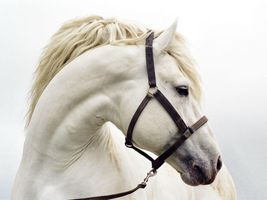 Photo free White horse, the mane, the horse