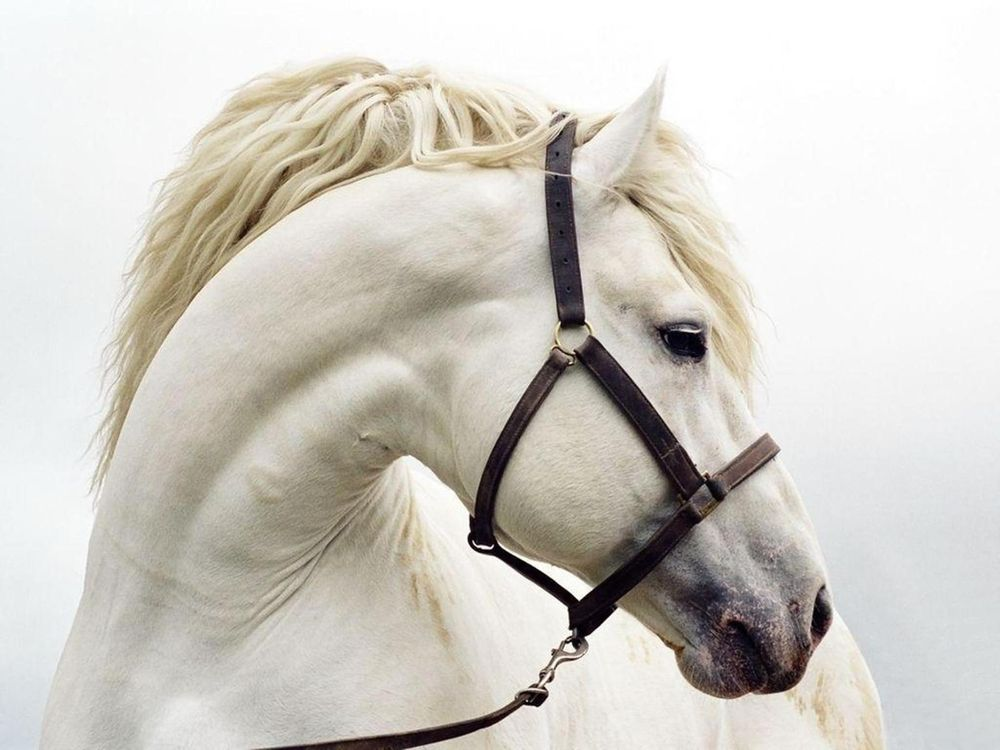 Photos for free White horse, the mane, the horse - to the desktop