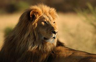 Лев крупным планом