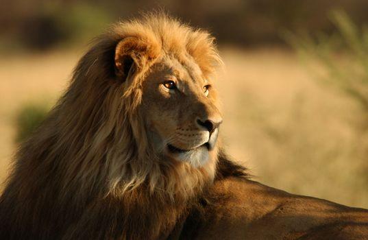 Лев крупным планом · бесплатное фото