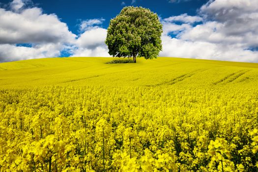 Photo free spring, flowers, rapeseed