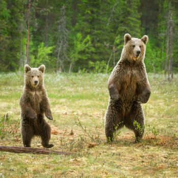 Two bears · free photo