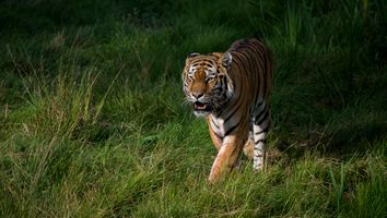 Заставки Panthera tigris altaica подвид тигра, животное, хищник