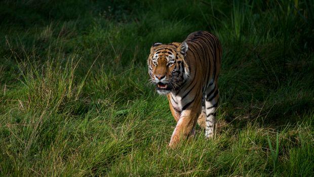 Фото бесплатно Panthera tigris altaica подвид тигра, животное, хищник