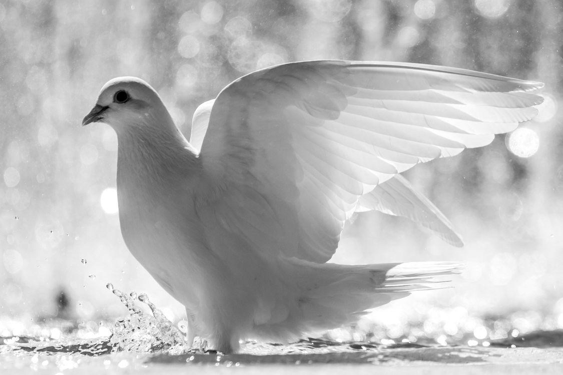 Фото бесплатно птица, голубь, капли - на рабочий стол