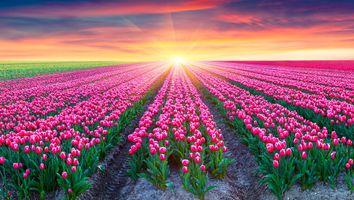 Бесплатные фото цветочное поле,закат,поле,цветы,тюльпаны,пейзаж
